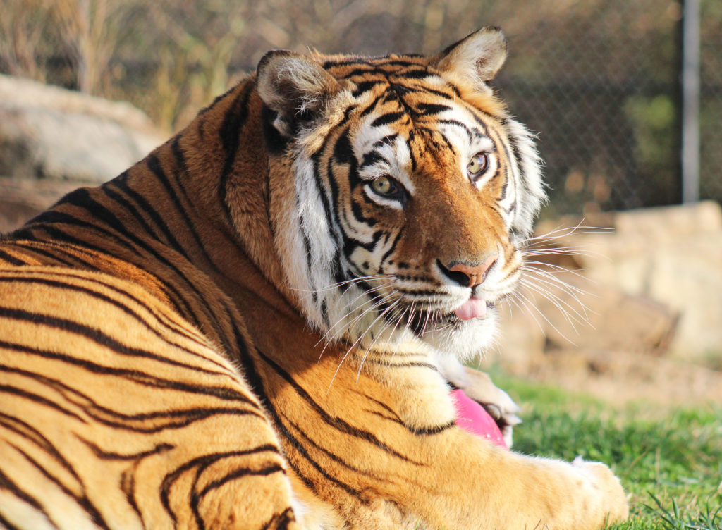 What Do Tigers Eat?