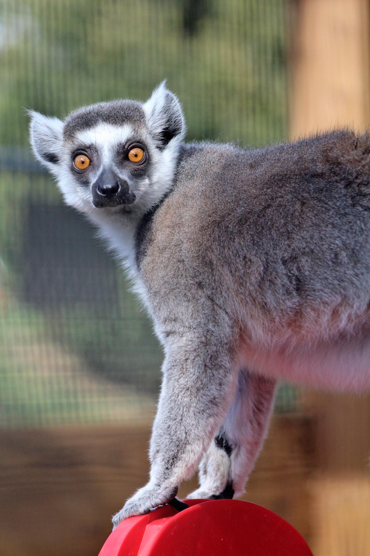 Lifespan Of Ring Tailed Lemur