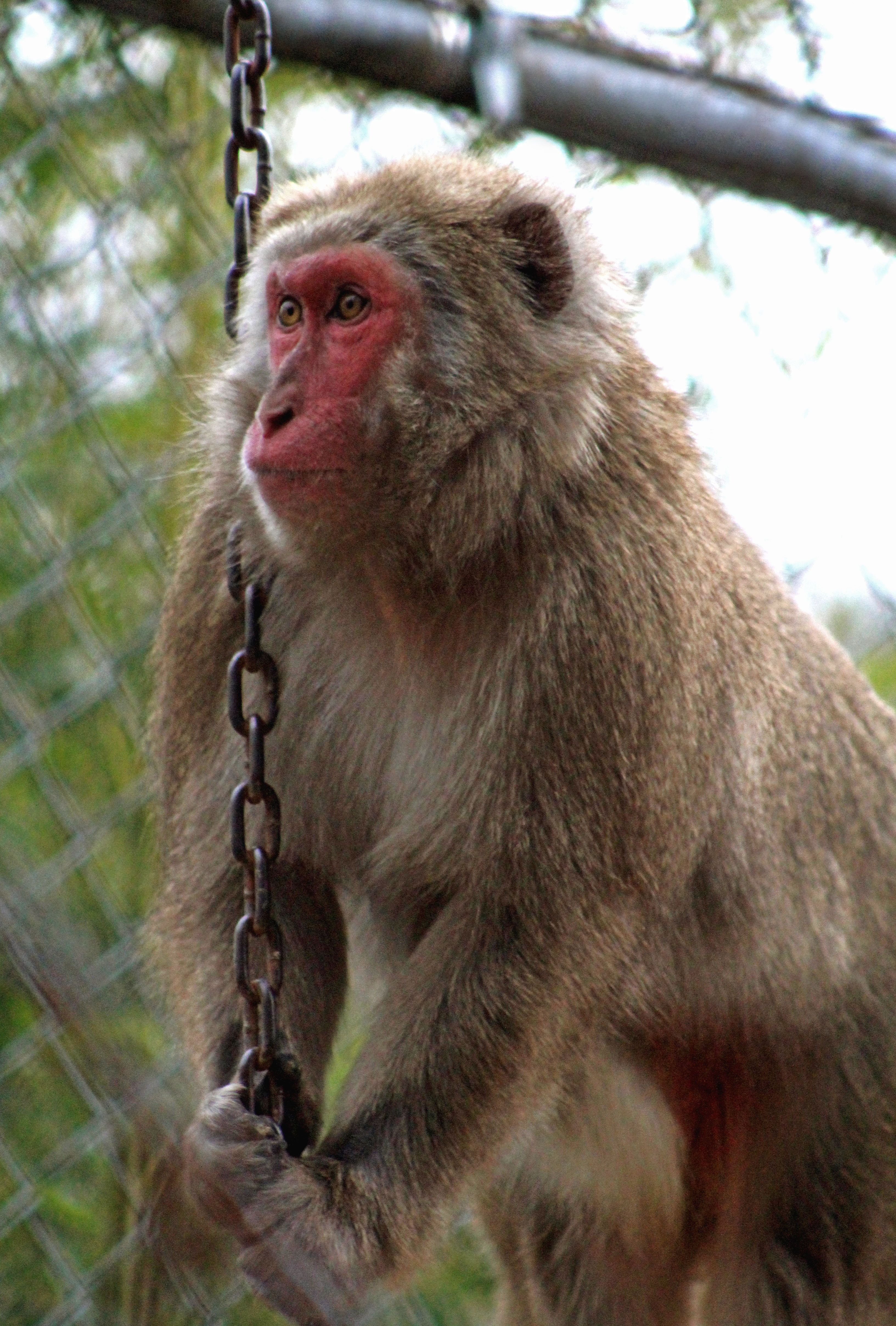 Japanese Snow Macaque - photo#33